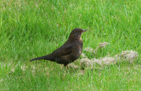 Common blackbird, female / Koltrast, hona / Turdus merula