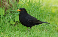 Common blackbird, male / Koltrast, female / Turdus merula