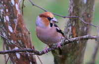 Hawfinch / Stenknäck / Coccothraustes coccothraustes